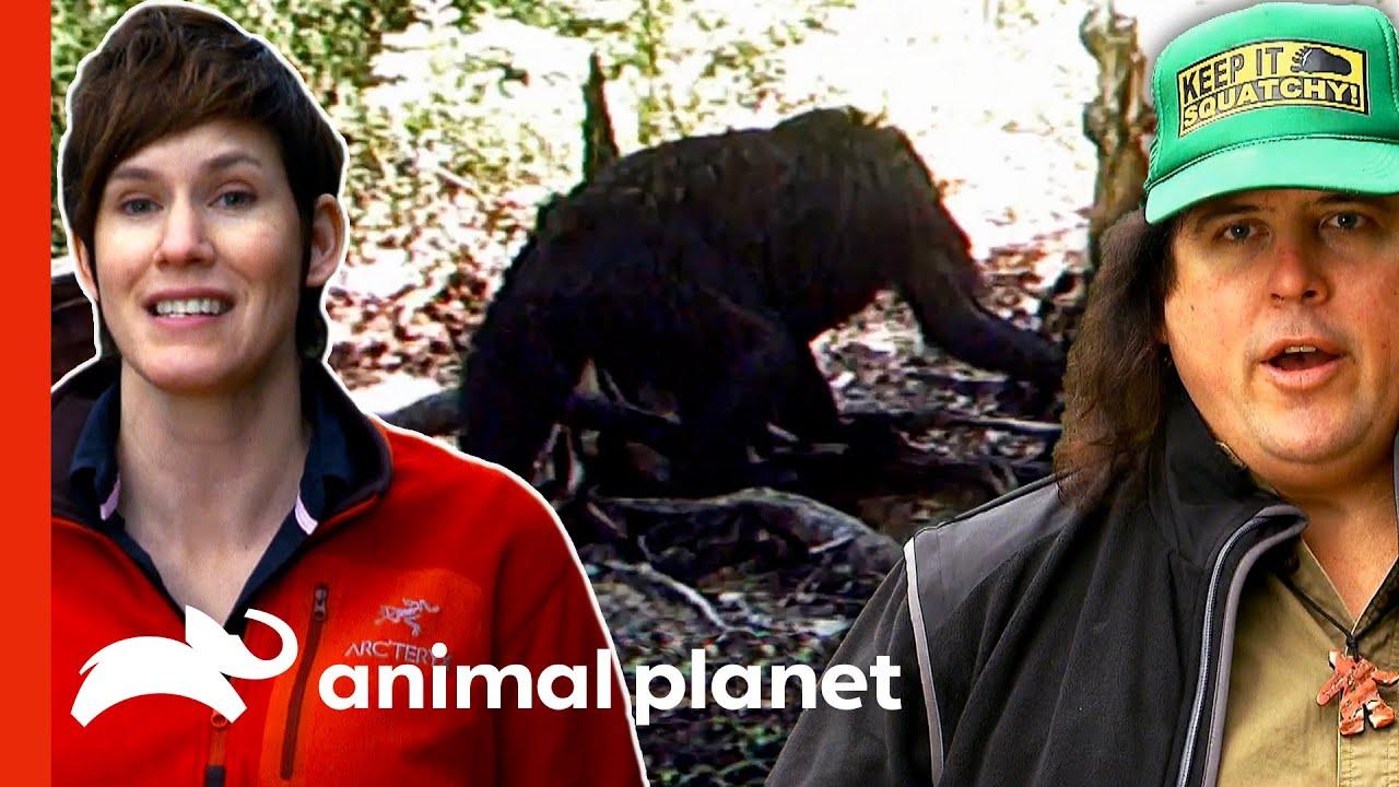 Download Hidden Camera Captures A Young Sasquatch! | Finding Bigfoot