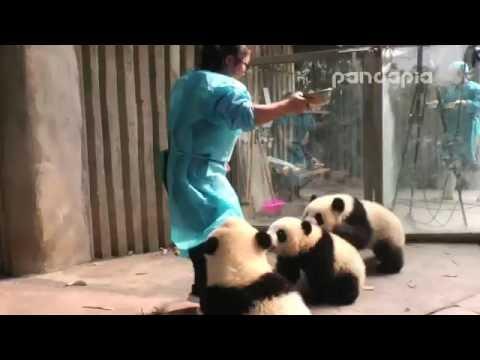 Panda cubs drink milk