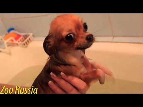 Very Funny Chihuahua Dog - ' I Swim Unhappy Dog '