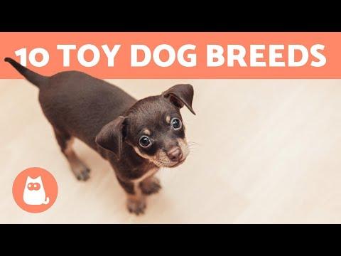Top 10 TOY DOG BREEDS  Miniature & Dog Sizes