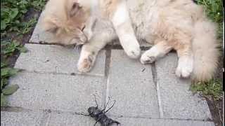 Жук-олень и кот Кузя.