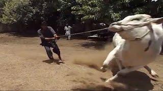 Cow Qurbani  in Bangladesh  || Cow Qurbani Eid ul Adha 2017