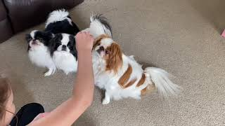 Japanese Chin Dogs  Sitting for treats. Learning to sit.