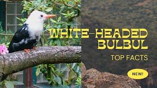 Whiteheaded Bulbul  found in Myanmar  and northwestern Thailand