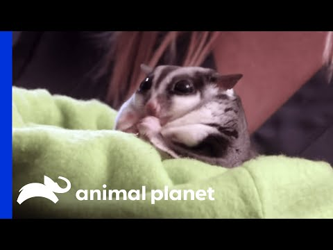 This Pudgy Sugar Glider Weighs Twice What He Should