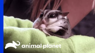 Overweight Sugar Glider Weighs Twice The Normal Weight | My Big Fat Pet Makeover