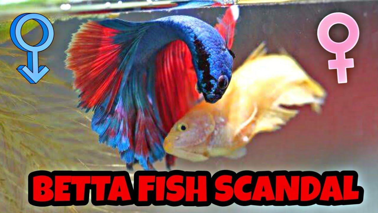 Betta Fish Breeding Process Spawning Eggs Bettafish Mating Breeding Youtube