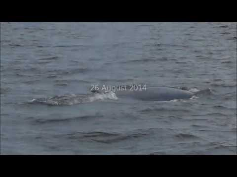 Bryde's Whale @Inner Gulf of Thailand