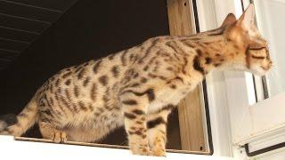 Саванна, уход и содержание, Породы кошек
