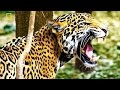 Animal Documentary National Geographic The Ghost of the Jungle, THE JAGUAR [Special by N