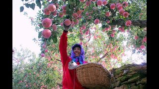 Gambar cover LIVE: A journey of apples from China to Thailand and Malaysia #XinhuaGlobalLive