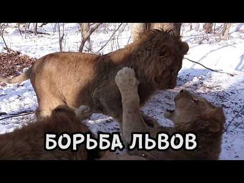 БОРЬБА ЛЬВОВ