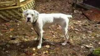 Boxer Dog Rescue- Bouncing Boy Boo