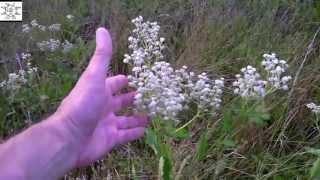Common Wild Quinine