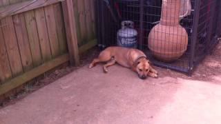 Aggressive Pitbull Rehab Dog Training