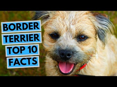 Border Terrier - TOP 10 Interesting Facts