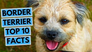 Border Terrier  TOP 10 Interesting Facts