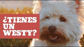 Cuidados del Westy  West Highland White Terrier