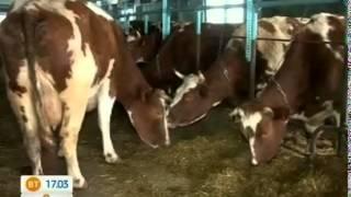 Педикюр для коровы - залог хороших надоев