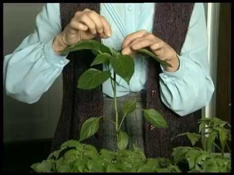 Инжир. Выращивание дома и в открытом грунте. Фото