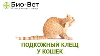Подкожный клещ у кошек. Ветеринарная клиника Био-Вет.