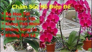Chia sẻ chăm sóc Hồ Điệp để cây ra hoa tết và không bị thối nhũn