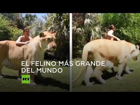 El felino más grande del mundo
