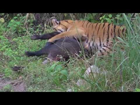 Tiger vs Wild Boar - Jim Corbett National Park