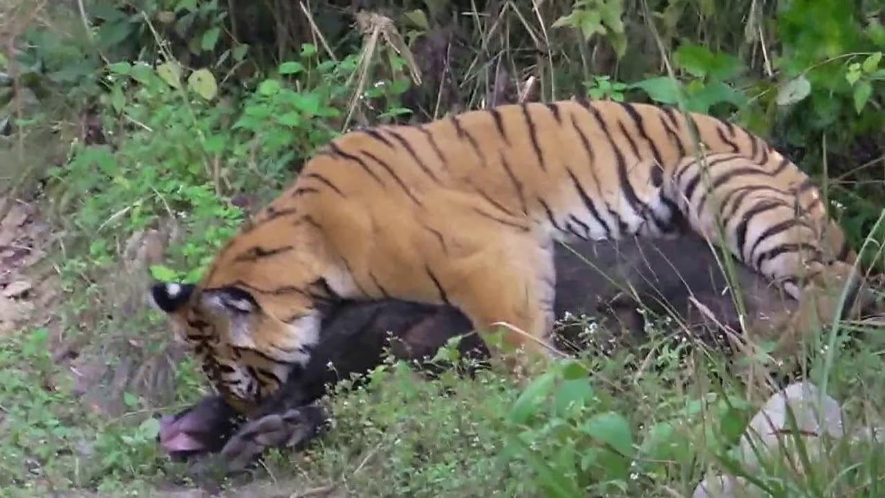 Tiger Vs Wild Boar Jim Corbett National Park Doovi