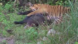 Tiger vs Wild Boar - Jim Corbett National Park