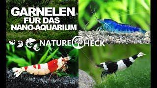 Garnelen fürs Nano Aquarium - 22 Arten im Überblick