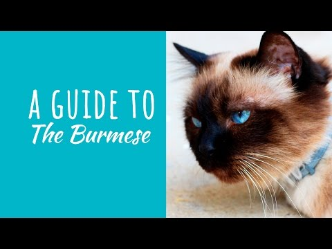 A Guide To The Burmese Cat