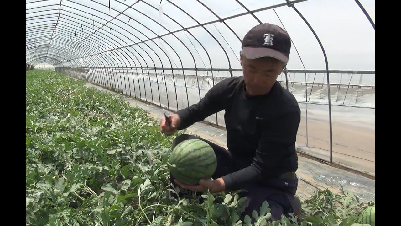 収穫 タイミング スイカ