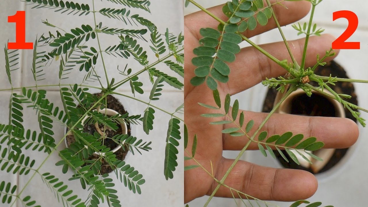 Initiate Branch Boom Smaller Leaves In Delonix Regia Gulmohar À¤— À¤²à¤® À¤¹à¤° Bonsai Tips Tricks Gcg Youtube
