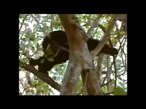 チンパンジーの共食い Cannibalism - Chimpanzee eating baby chimp