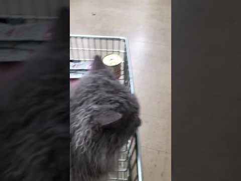 "Selkirk Rex cat, ""Regan"", shopping at Petbarn- Kimmaaay's Cat"