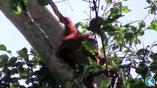 A Day in the Life of the Orang-utan Research Unit - HUTAN
