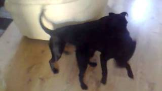 Staffordshire Bull Terrier Playing With Patterdale Terrier