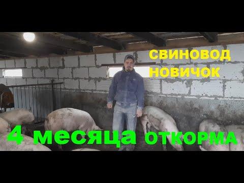 Вопрос: Какой оптимальный рацион для откорма свиньи?
