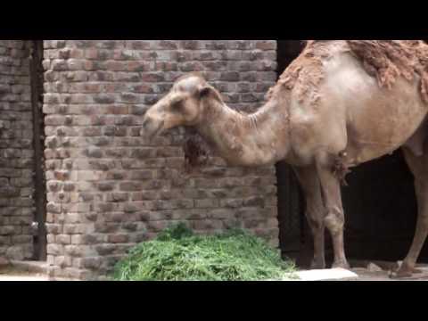Funny Camel zoo video - wildlife animals