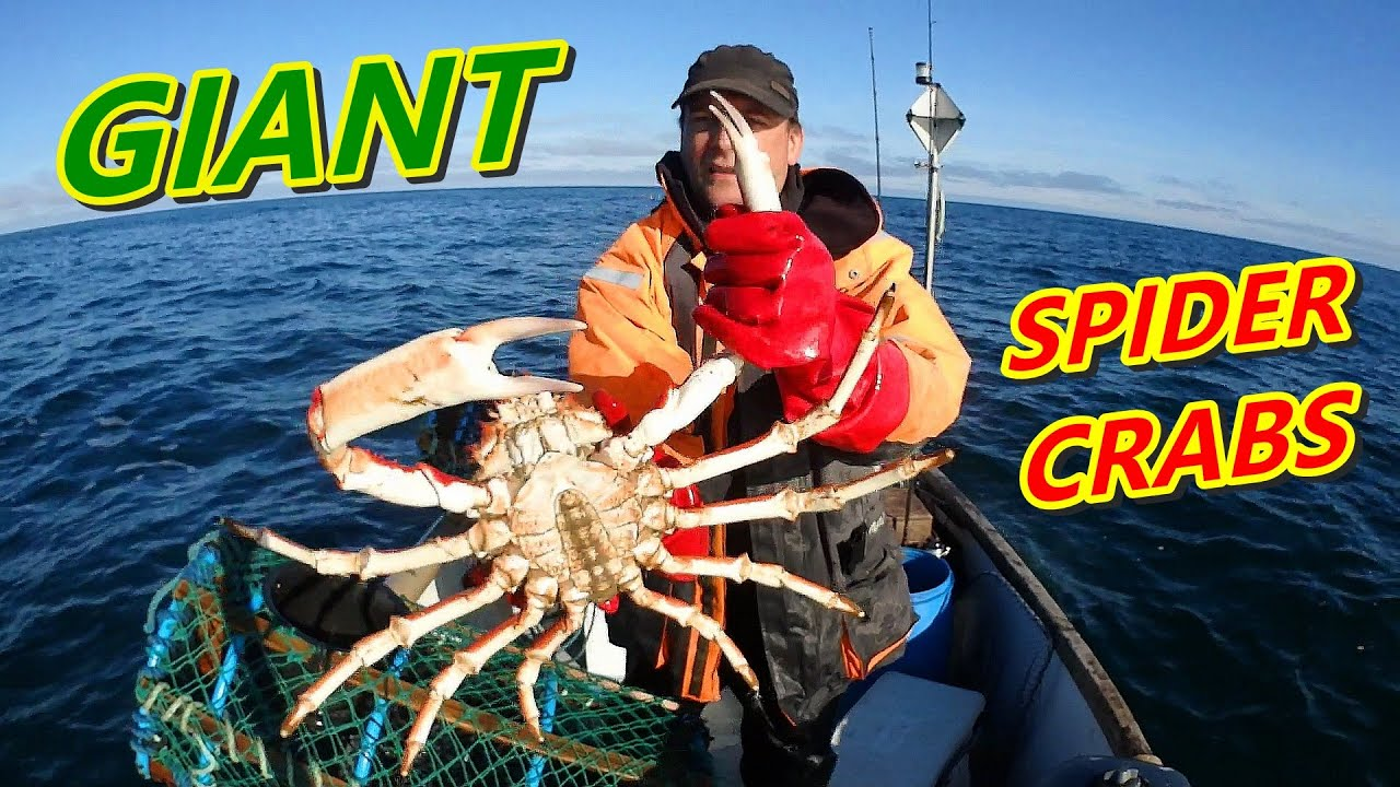 Giant Spider Crabs - Huge Crabs Caught in the Homemade Crab Traps
