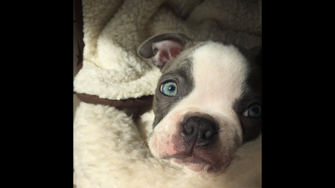 seal boston terrier bruce and alan the blue and seal boston terrier puppies 8173