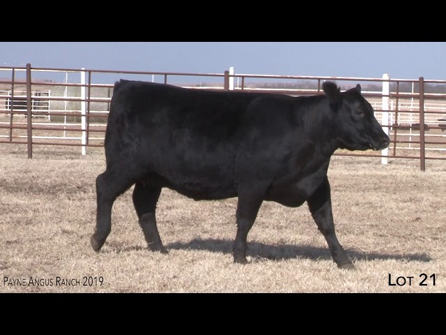 Payne Angus Ranch Lot 21