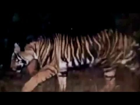 Rare Black Tiger Spotted In Odisha Youtube