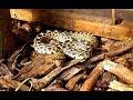 Sonoran Gopher Snake. Rattlesnake mimic