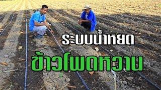 ปลูกข้าวโพดหวาน และวาง ระบบน้ำหยด  ในสวนลุงเฉลิมพีรี เกษตรผสมผสาน เกษตรพอเพียง farmfarmfarm (EP.88)
