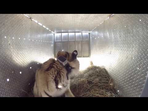 Thumbnail for Cat Video Epic Tiger Release in Far East Russia