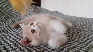 Экзотическая короткошерстная кошка Хлоя
