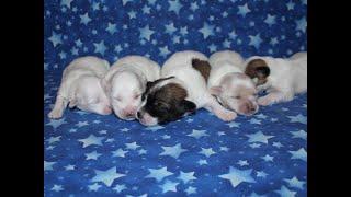 Coton Puppy For Sale - Ireland 9/14/20