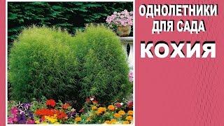 Оригинальные однолетники для сада  Кохия